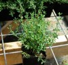 Thyme Set (4 seed packets): English Broadleaf, French, German Winter and Mastic, Organic