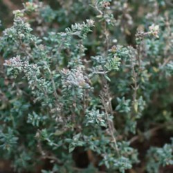 Thyme, German Winter (Thymus vulgaris), packet of 30 seeds, organic