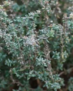 Thyme, German Winter (Thymus vulgaris), packet of 30 seeds, organic