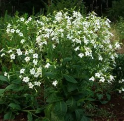 Tobacco, Night Blooming Azteca (Nicotiana alata) packet of 100 seeds, organic