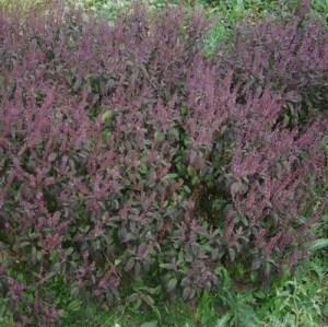 Tulsi, Krishna -- Holy Basil, Shyama Tulasi (Ocimum tenuiflorum) potted plant, organic