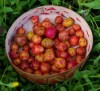 Ulluco (Ullucus tuberosus) potted plant, organic