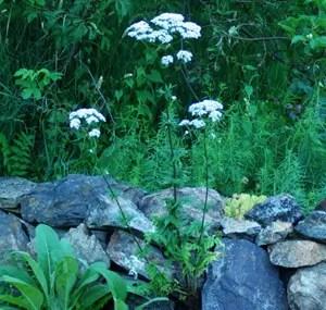 Valerian, Official Root (Valeriana officinalis), organic