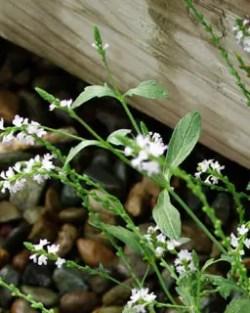 Vervain, European (Verbena officinalis), packet of 50 seeds, organic