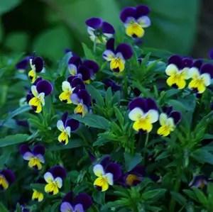Violet, Heartsease (Viola tricolor), packet of 100 seeds, organic
