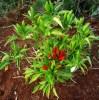 Pepper, Thai Volcano (Capsicum annuum), packet of 30 seeds, organic