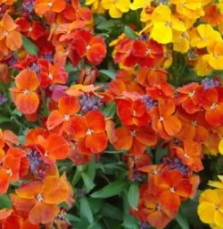 Wallflower, English, Mixed Singles (Cheiranthus cheiri) packet of 100 seeds
