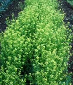 Mustard, White (Sinapis alba), packet of 100 seeds, organic