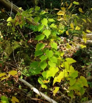 Wild Yam, American--Four-leaf Yam (Dioscorea quaternata) packet of 10 seeds, organic