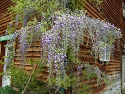 Wisteria, Chinese Blue (Wisteria sinensis), packet of 5 seeds