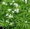 Woodruff, Sweet (Galium odoratum), packet of 30 seeds