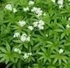 Woodruff, Sweet (Galium odoratum), packet of 30 seeds