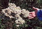 Yarrow, Coastal (Achillea millefolium L. var. litoralis), packet of 100 seeds