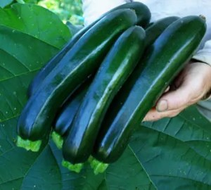 Zucchini, Midnight Lightning (Cucurbita pepo), packet of 15 seeds, organic