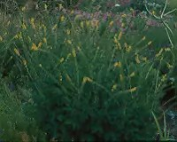 Agrimony (Agrimonia eupatoria) packet of 10 seeds, organic