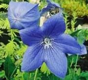 Balloonflower (Platycodon grandiflorum) packet of 30 seeds, organic