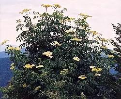 Elderberry, Blue (Sambucus caerulea) potted shrub