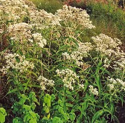 Boneset (Eupatorium perfoliatum), packet of 30 seeds, organic