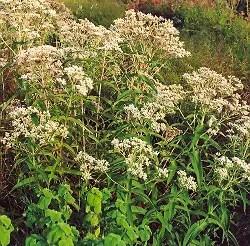 Boneset (Eupatorium perfoliatum), packet of 30 seeds, organic