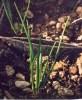 Camas, Blue Live Bulbs (Camassia quamash) bag of 6