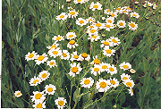 Costmary (Tanacetum balsamita), packet of 100 seeds, organic
