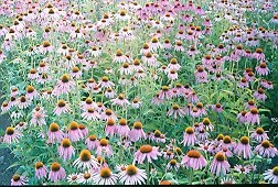 """Echinacea Set"" (8 seed packets): angustifolia, laevigata, pallida, paradoxa, purpurea, sanguinea, simulata & tennesseensis."