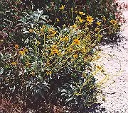 Brittlebush (Encelia farinosa), packet of 50 seeds