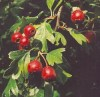 Hawthorn, Wild Form (Crataegus monogyna) potted tree
