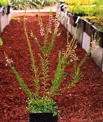 Heather (Calluna vulgaris), packet of 100 seeds, organic