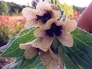 Henbane, Black (Hyoscyamus niger), packet of 50 seeds, organic [CA, WA no]