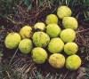 Osage Orange (Maclura pomifera), packet of 30 seeds