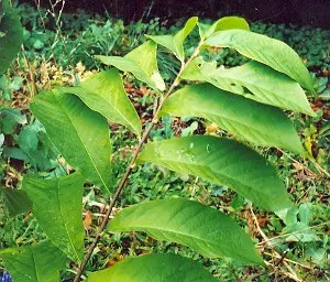 Paw Paw (Asimina triloba), packet of 10 seeds