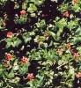 Pimpernel, Scarlet (Anagallis arvensis), packet of 100 seeds