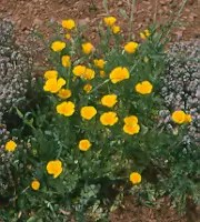 Poppy, California Open Pollinated (Eschscholzia californica), packet of 500 seeds