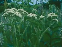 Wild Quinine (Parthenium integrifolium), packet of 50 seeds, organic