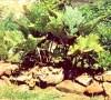 Rhubarb, Turkey (Rheum palmatum tanguticum), packet of 10 seeds