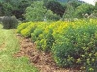 Rue (Ruta graveolens), packet of 50 seeds, organic