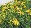 Saint John's Wort (Hypericum perforatum) packet of 500 seeds, organic [CA, CO, MT, SD, WA no]