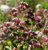 Oregano, Wild (Origanum vulgare), packet of 300 seeds, organic