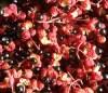 Szechuan Pepper (Zanthoxylum simulans), packet of 20 seeds
