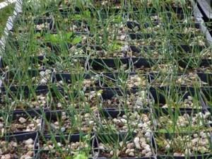 Zhong-ma-huang (Ephedra intermedia), packet of 50 seeds [AUS/NZ NO]