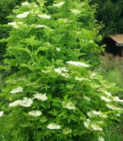 Elderberry, Black (Black Elderberry) (Sambucus nigra) potted tree, organic