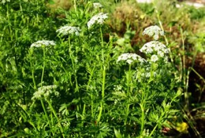 She-Chuang-Zi (Snow Parsley) (Cnidium monnieri), potted plant, organic