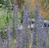 Viper's Bugloss (Echium vulgare), potted plant, organic (MT, WA no)