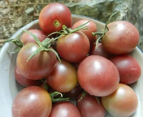 200 Purple Tomato Seeds Lycopersicum esculentum Cherry Tomatoes Organic S061