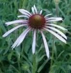 Medicinal_Herb_Plants_E_K_500