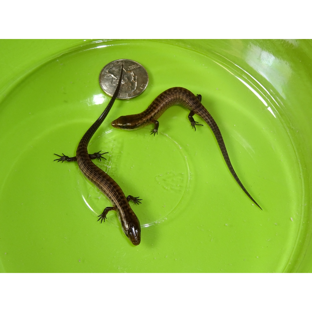 Haitian Galliwasp Skink  captive babies  Strictly Reptiles