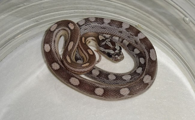 Blue Motley Corn Snake Baby Strictly Reptiles