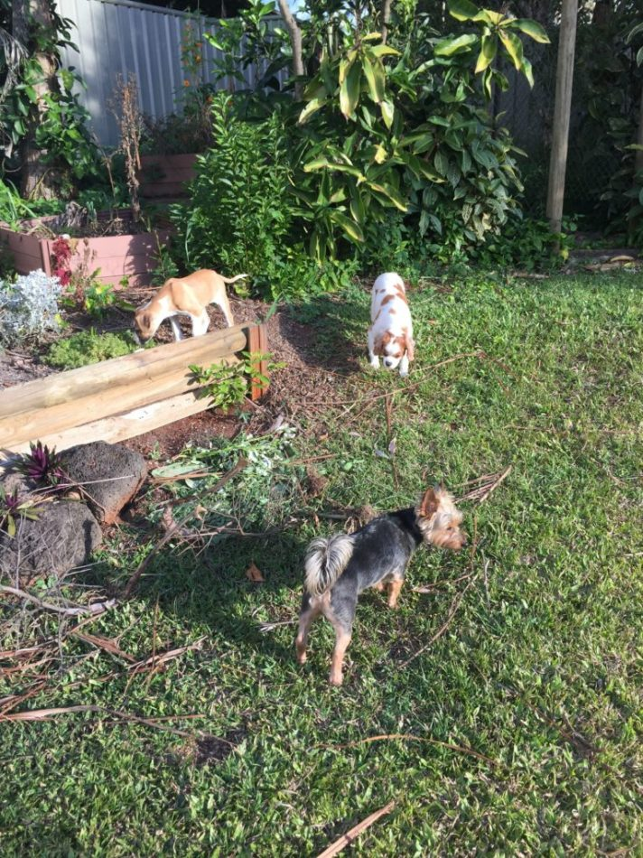 Digby, Molly and Hamish - out catching some rays in the back yard.