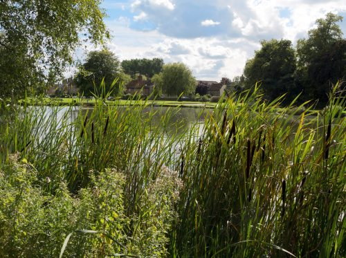 Bullrushes fringing a pond in the village of Great Massingham, in Norfolk, eastern England, on a sunny September day.